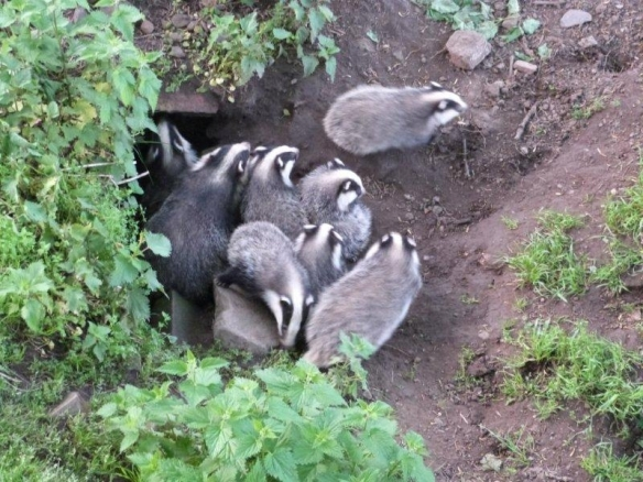 Bill, our Countryside Manager found these badgers behind home farm